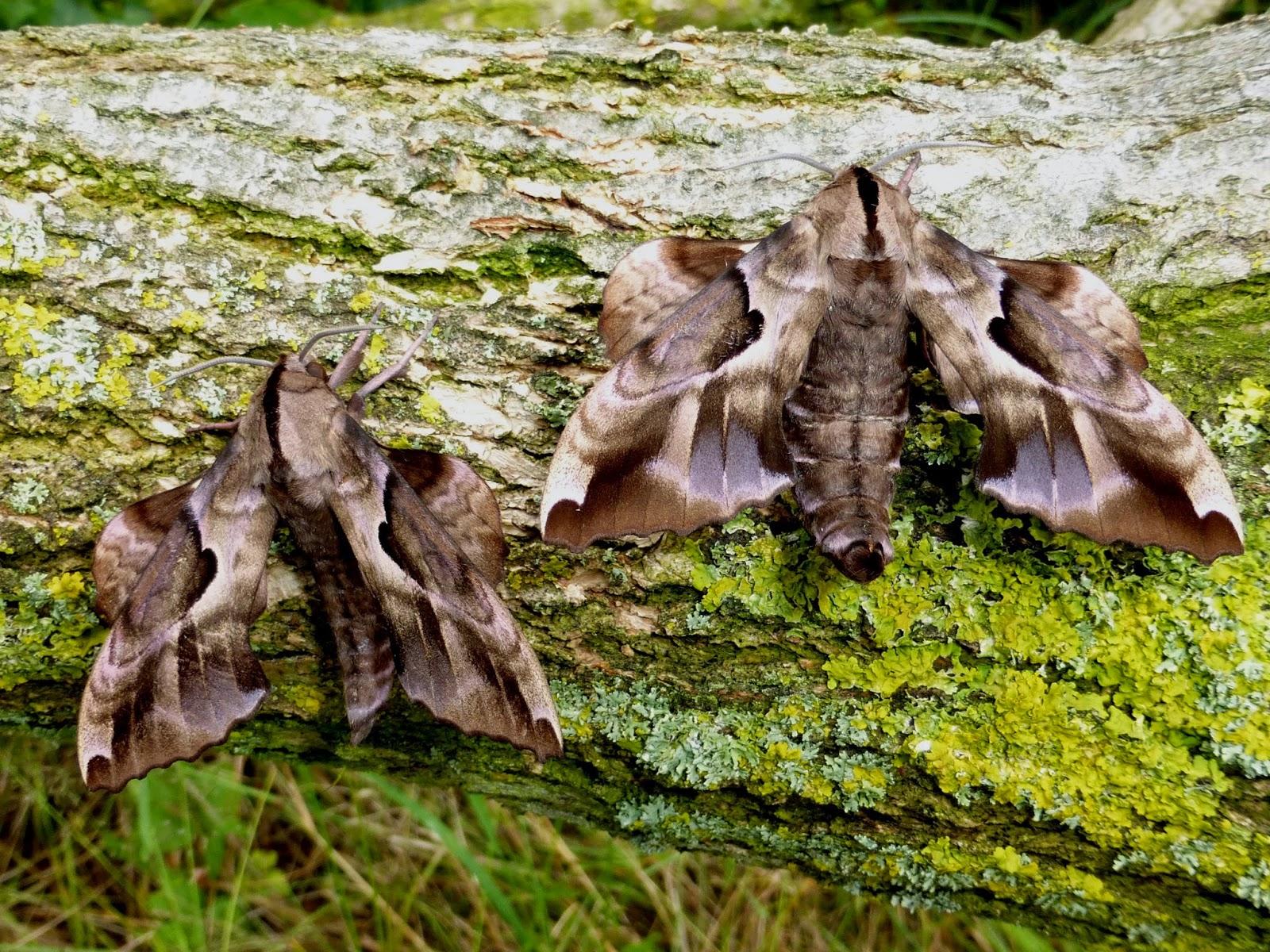 Phyllosphingia dissimilis pair