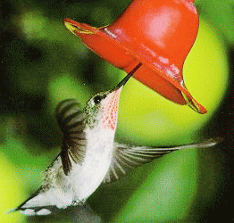 Colibrí o colibries