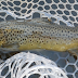 Salmo trutta : The Brown Trout we don't know