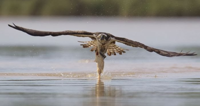 как скопа ловит рыбу