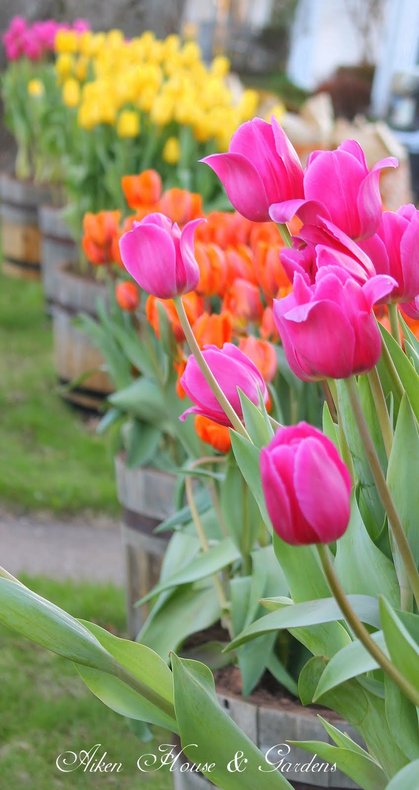 just tulips spring garden - photo #11