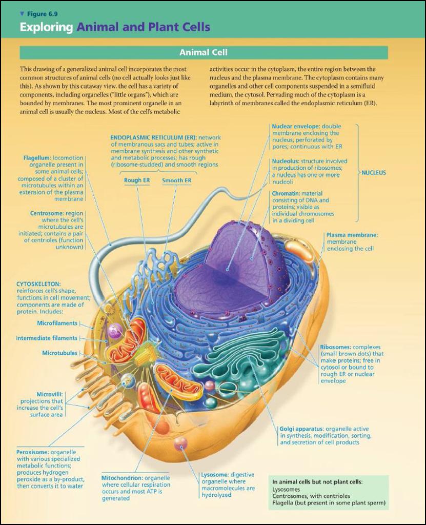 struktur sel hewan