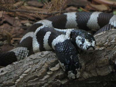 two headed snakes 13