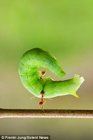 نملة ترفع يرقة 4