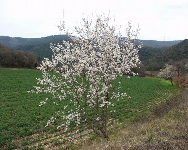 Mon arbre le de vivre le douaire tout savoir sur l 39 amandier prunus amygdalus conseil - Fruit de l amandier ...