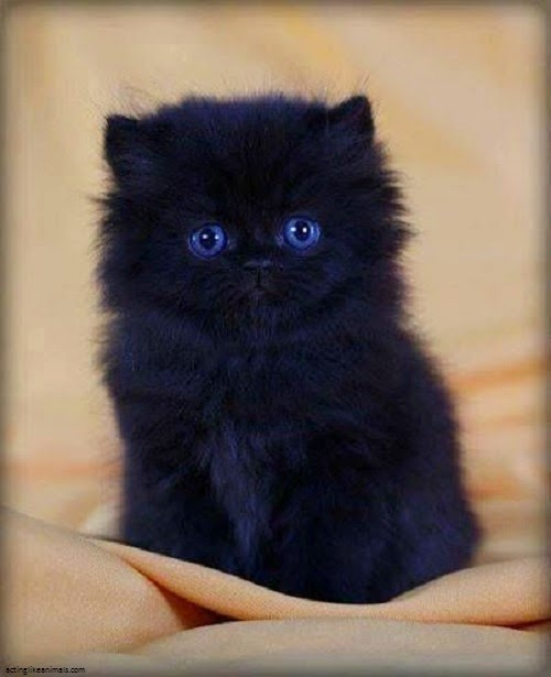 Une Photo chaton noir