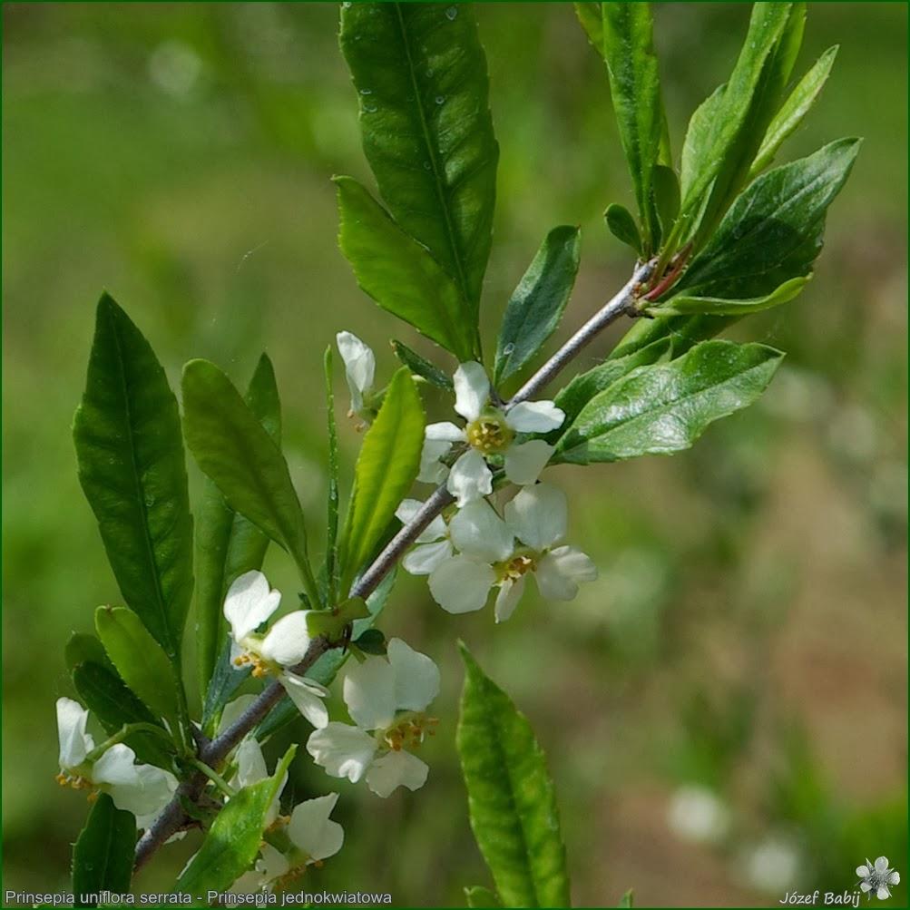http://plantsgallery.blogspot.com/2014/02/prinsepia-uniflora-serrata-prinsepia.html