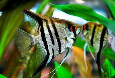 Ikan Hias Manfish Dan Cara Budidaya