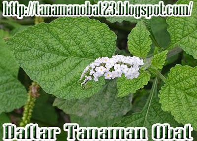 Sangketan(Heliotropium indicum L.)