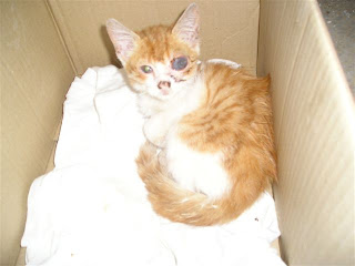 orange cat with injured eye in box