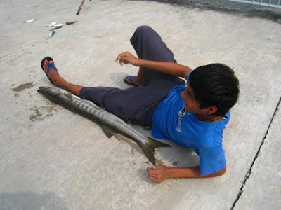 Barracuda also know as Saw Kun 沙君 or Ikan Kacang weighing 5.8kg Caught by Me at Woodland Jetty on 1st Auguat 2012.