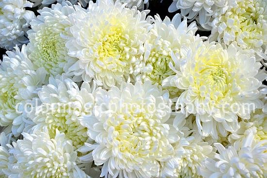 Bunch of white chrysanthemums.