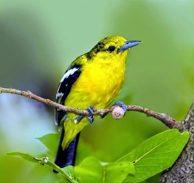 Foto Burung Cipoh Jantan
