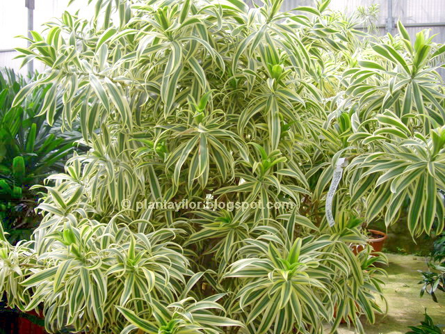 plantas y flores dracaena reflexa 39 song of india 39 On planta ornamental originaria de la india