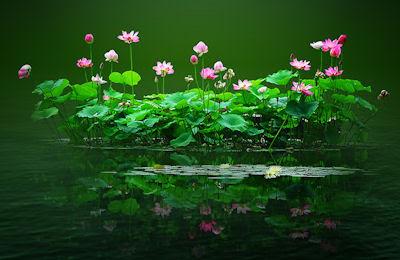 Flores de lotto en los lagos del paraíso - Reflejos