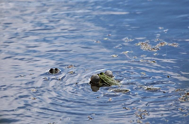 calling edible frog