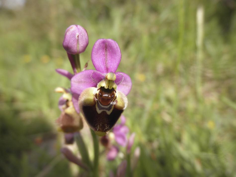 orquidia avispa