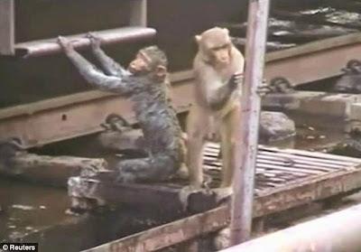Aksi Heroik Monyet Menolong Temannya yang Tersengat Listrik
