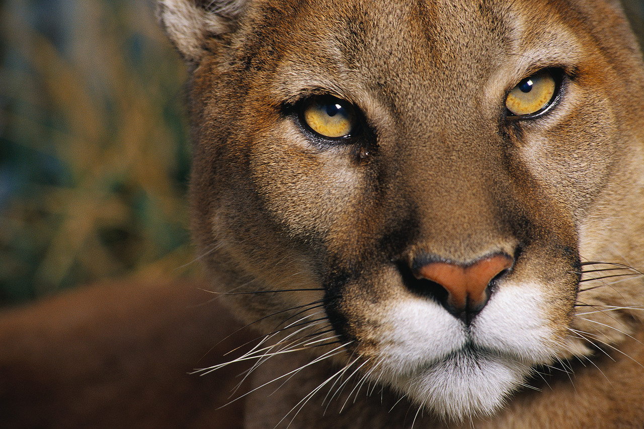 pictures of cougars