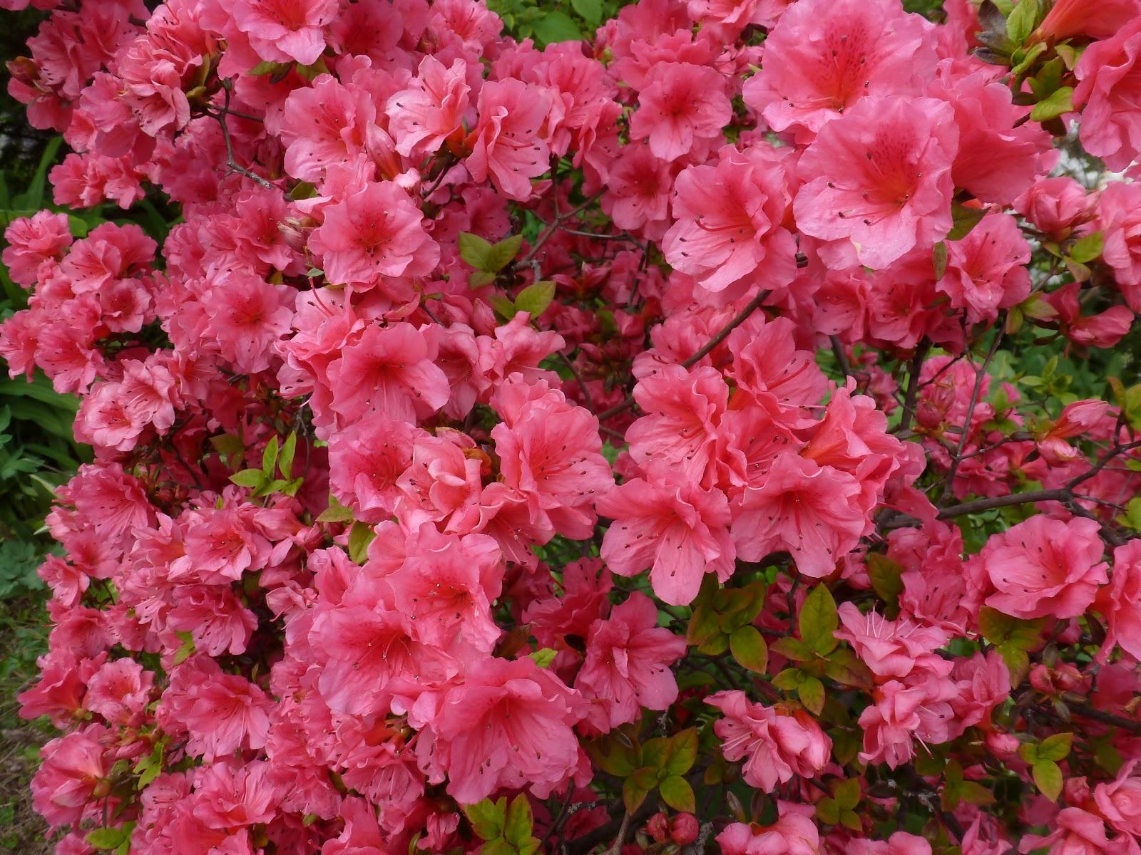 Jarvis house azaleas at the jarvis house garden may 2012 for The azalea
