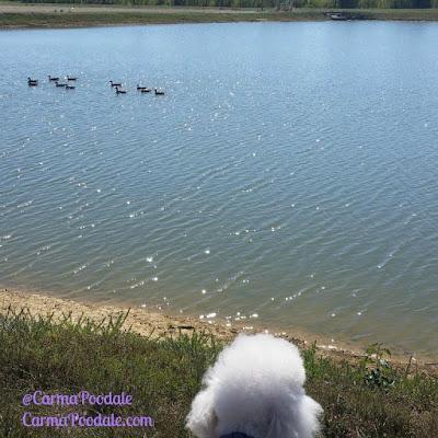 Carma Poodale watching geese