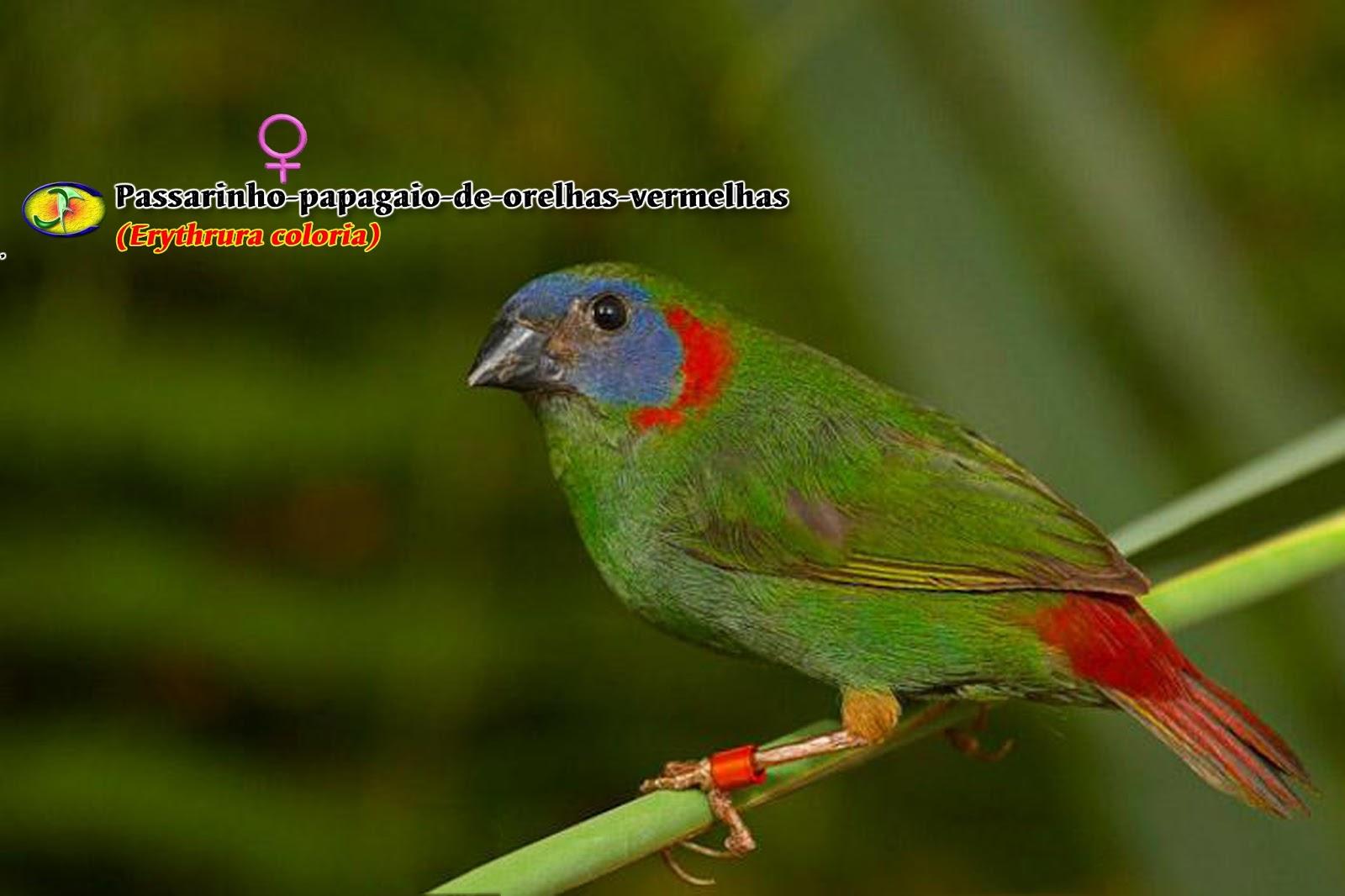 ornitologia pássaro papagaio de orelhas vermelhas erythrura coloria
