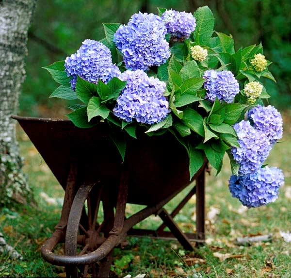 which are the best blue flowering hydrangeas the garden. Black Bedroom Furniture Sets. Home Design Ideas