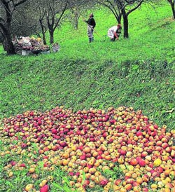manzanas destinadas a sidra