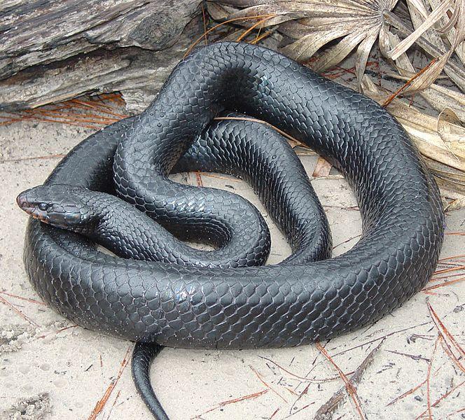 The Eastern Indigo Snake