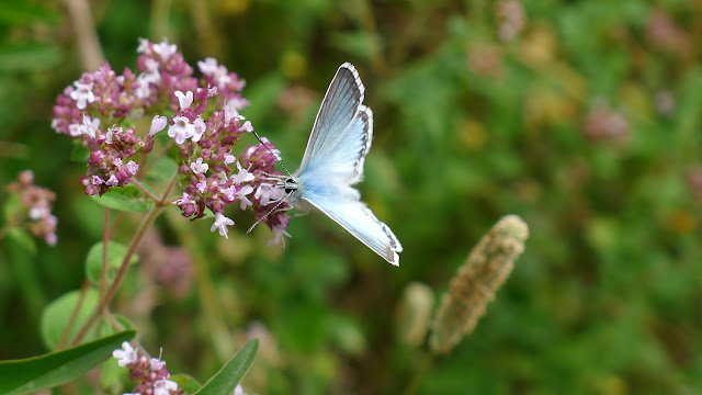 Chalkhill Blue, male