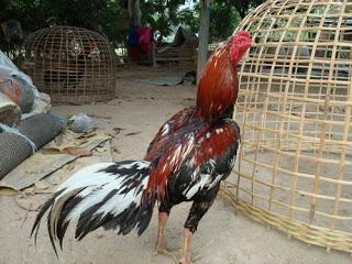 Ayam jenis Siam