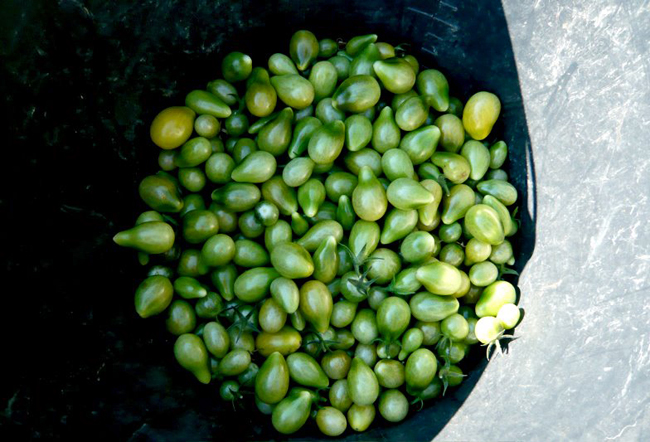 Melopapilles mon chutney de tomates vertes - Que faire avec des tomates du jardin ...