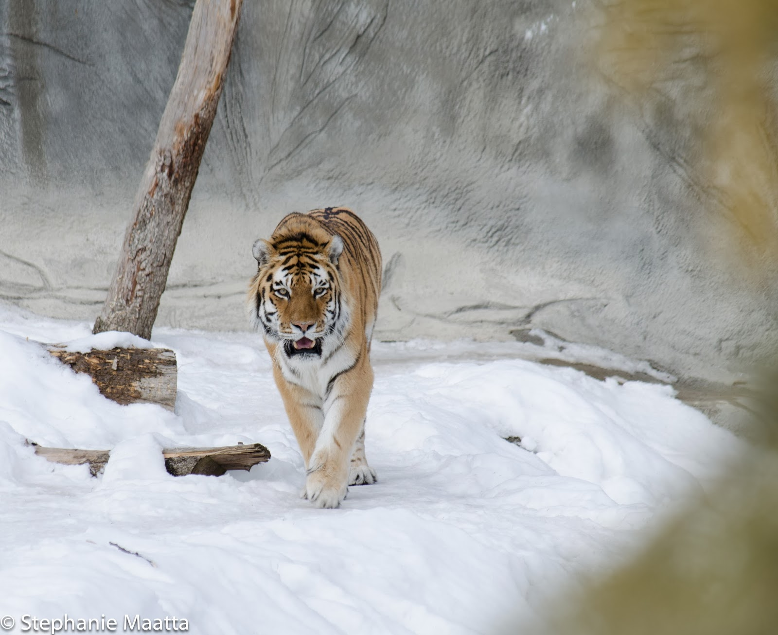 Amur tiger in the winter at Detroit Zoo