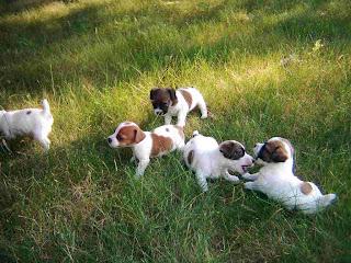 Bloodhound Puppy Picture