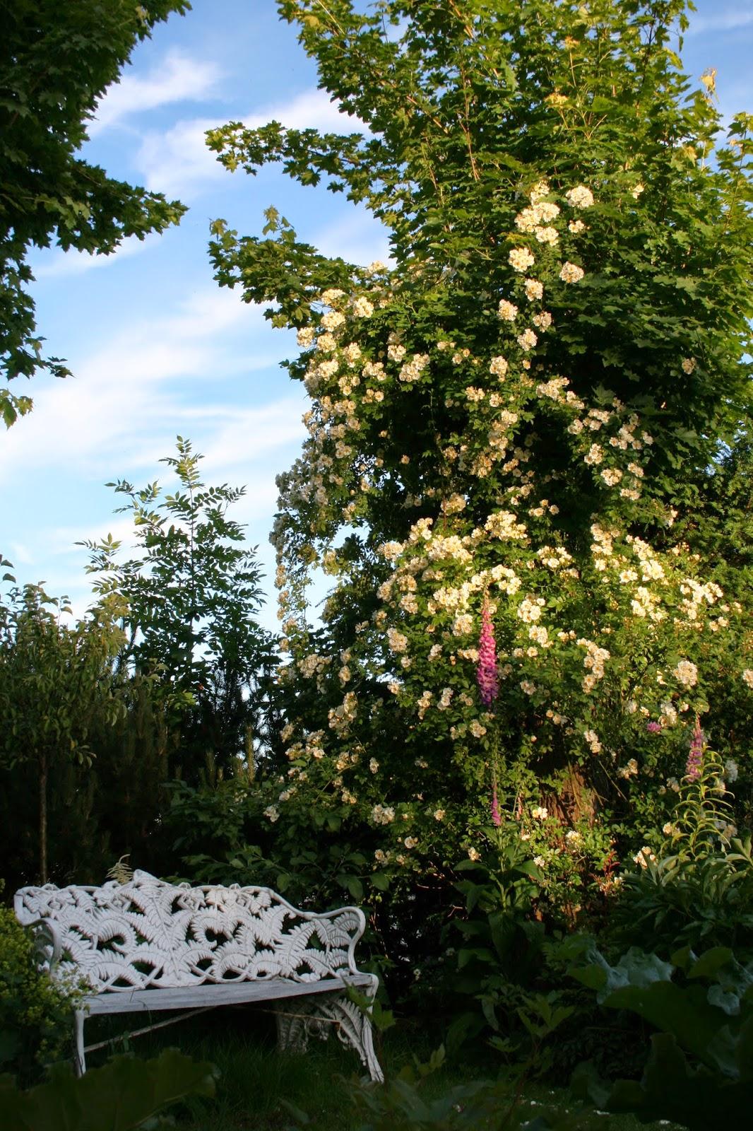 Fylld Honungsros Rosa helenae 'Hybrida'