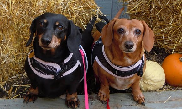 The Doxie life of Angel Lily Belle, Angel Muffin and their Humans