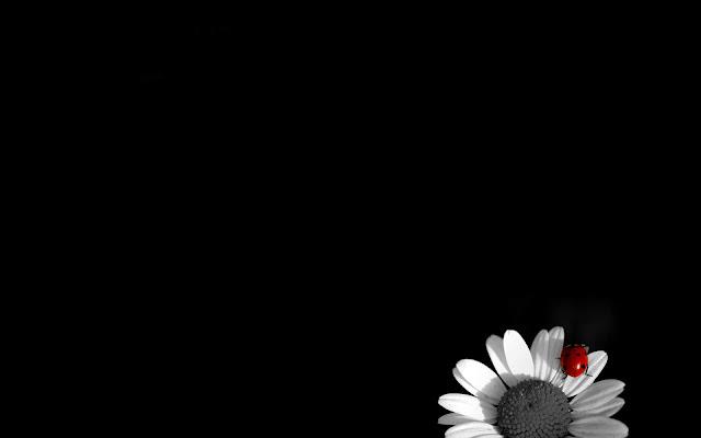 White Camomile on Black Background Black and White Wallpaper