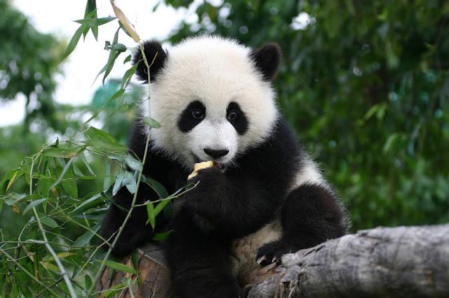 Animales osos pandas