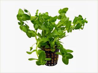 gambar-Bacopa-Caroliniana-tanaman-aquascape