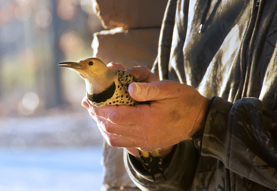 yellow-shafted flicker in man's hands