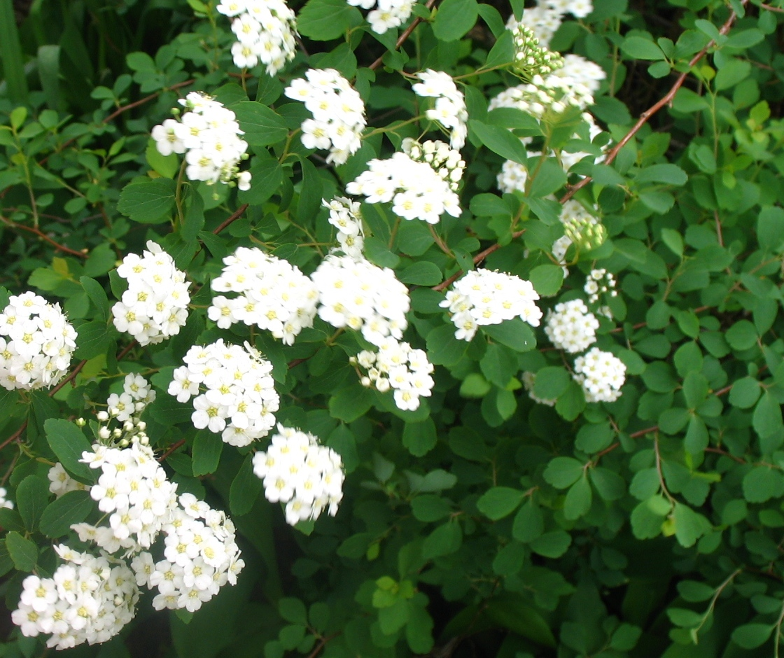 Bridal Bouquet Plant Pruning : Views from the garden how to propagate spirea shrubs