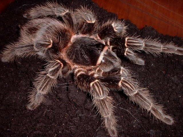 Popular Tarantula Species - Animals Species - photo#16