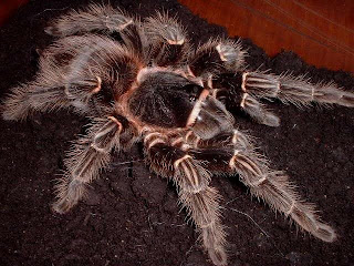 tarantula brazilian salmon pink bird eating Lasiodora parahybana arthropoda animal spider wallpaper