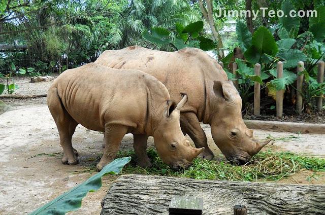 Hai con tê giác đang ăn cỏ trong vườn thú