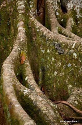 Martinique - jardin de Balata - figuier maudit