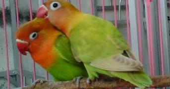 dunia burung cara merawat lovebird muda anakan