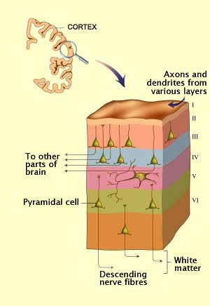 Diagram of the 6 cortical layers  From thebrain mcgill ca   an    Visual Cortex Layers