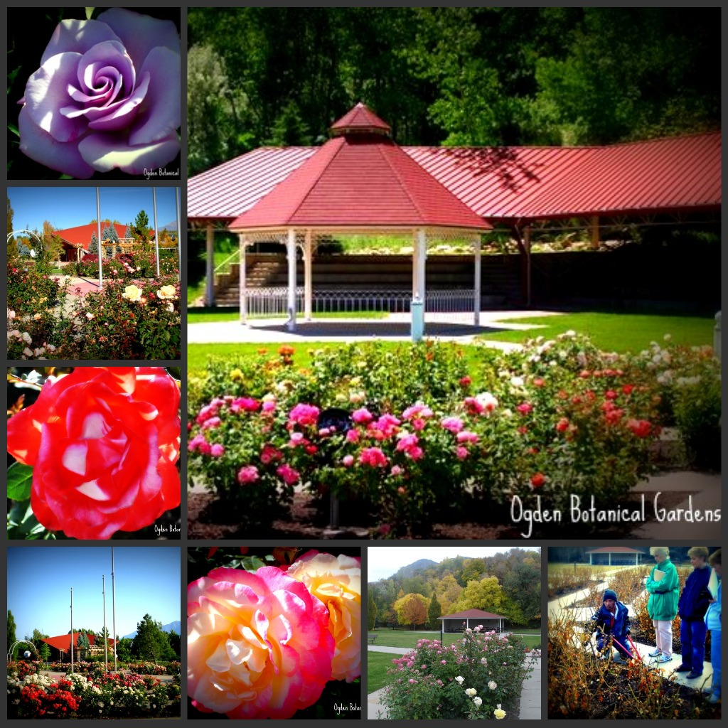 Here At The Ogden Botanical Gardens We Also Lost Roses. In Fact, We Figure  About 300 Are Gone. Sadly, The Roses Are A Major Focal Point Of The Gardens,  ...