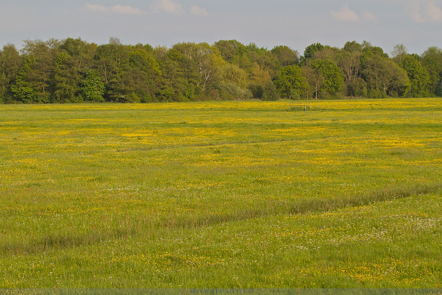 Gele weilanden @ Melkmeent - Yellow meadows @ Melkmeent