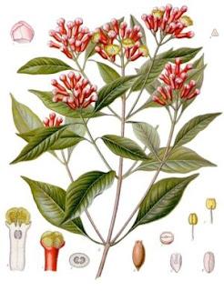 Cravo da Índia, Caryophillus aromáticus